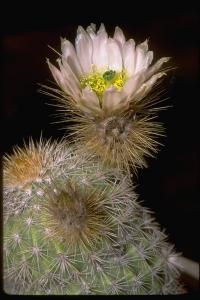 Image of Echinocereus grandis