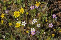 Image of Linanthus androsaceus