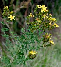 Image of Hypericum perforatum